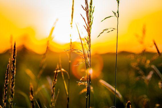 Graanveld bij zonsondergang met goudkleurige gloed