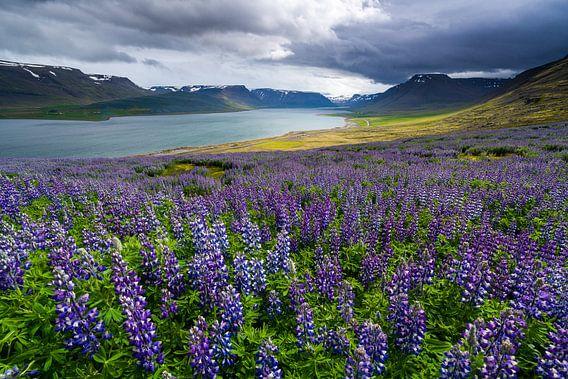 Bloeiende lupines in het Dýrafjörður, IJsland