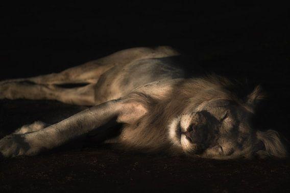 Slapende leeuw van De Afrika Specialist