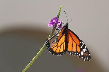 Monarch butterfly Bonaire mooie vlinder van Silvia Weenink