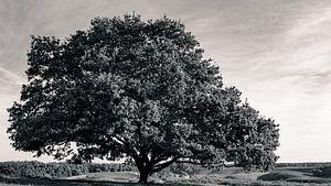 Oude Eik in zwart wit van Sjoerd van der Wal