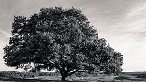 Oude Eik in zwart wit