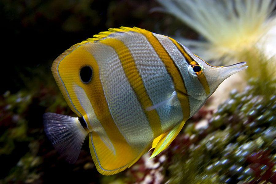 Pincetvis van Ronald Jansen