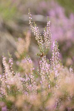 La bruyère violette fleurit sur le veluwe. sur Karijn Seldam