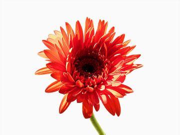 Oranje Gerbera 1 von Jonathan Kremer