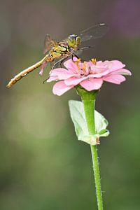 Ziegelroter Heidelibel auf Blume