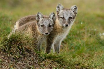 Cubs of the Arctic fox sur Tariq La Brijn