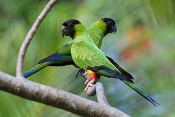 Stelletje Black-hooded Parakeets op een tak van