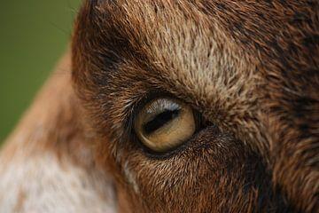 oog van nubische geit von nikita van der Starre- Zagers