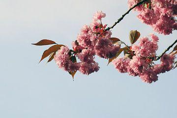 Zachte roze bloesem van Wijnand Kroes