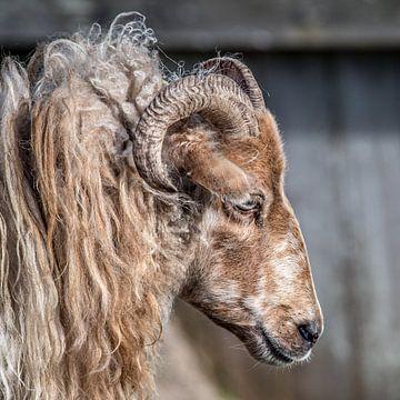 Portret van een Drent heideschaap met horens sur Harrie Muis