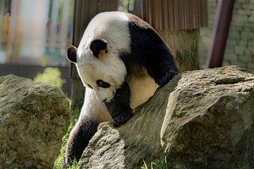 Reuze panda beer von Cilia Brandts