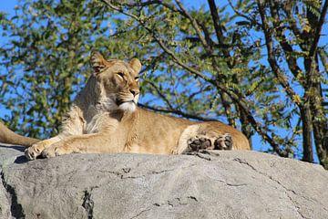 Löwe von brent diels
