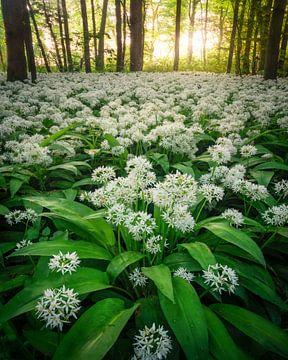Daslook in het bos tijdens het voorjaar