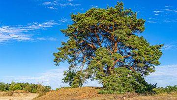 Schöner Baum in Loonse en Drunense Duinen (Noord-Brabant) von Jessica Lokker