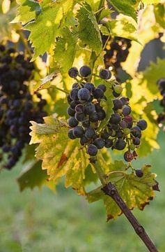 Rote Weintrauben hängen an einem Rebstock in der Morgensonne. von Edith Albuschat