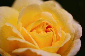 eenzame gele roos von Freya Clauwaert