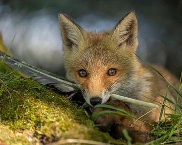 Deze jonge vos krijgt geen genoeg van zijn veer