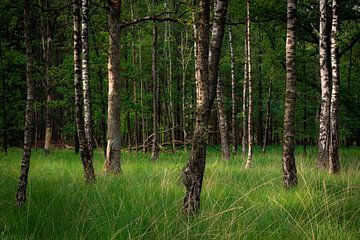 Forêt de bouleaux en lumière chaude sur Sjors Gijsbers