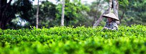 Theeplantage Indonesie