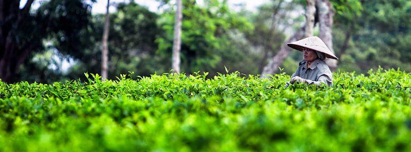 Theeplantage Indonesie van Jaap van Lenthe