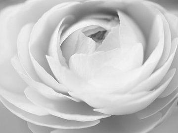 Zwart-wit weergave van een ranonkel van