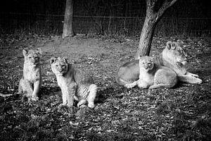 Een leeuwin met haar welpjes von Abi Waren