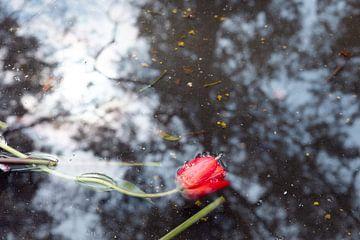 Tulpe im Tränenmeer von Kerstin Marosi