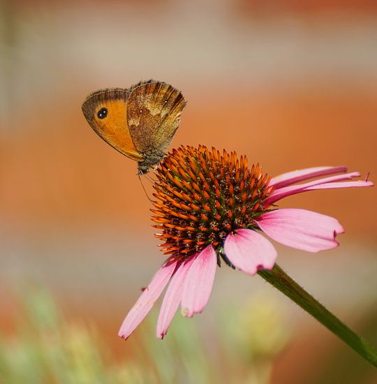Oranje zandoogje op een roze zonnehoed