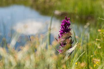 Fleur alpine sur Martine Dignef