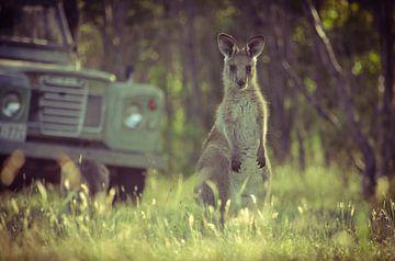 Joey, een jonge kangoeroe in Zuid-Australië van Sven Wildschut