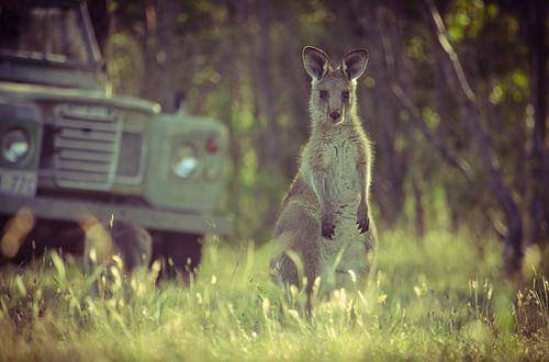 Joey, een jonge kangoeroe in Zuid-Australië