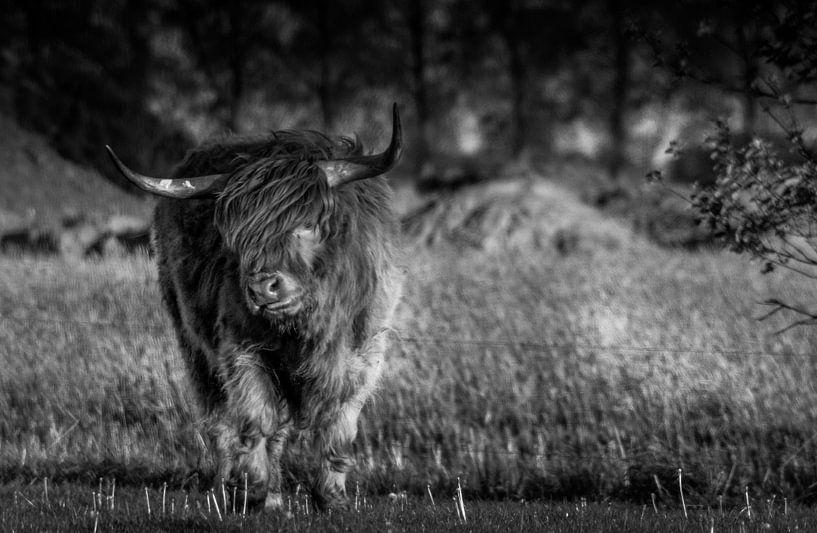 Schotse Hooglander B&W van Kuifje-fotografie