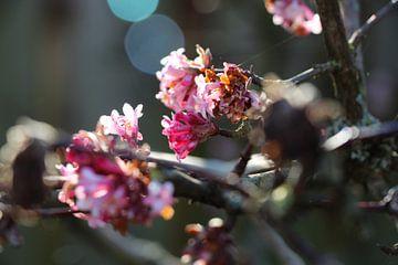 schöne Kirschblüte von Fabienne Lancee Fotografie
