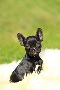 Französische Bulldogge 7 van Heike Hultsch