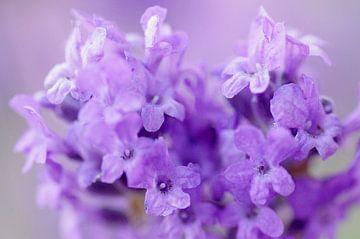 Purple light, lavendel Macrofotografie von Watze D. de Haan