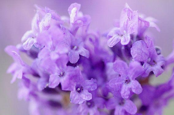 Purple light, lavendel Macrofotografie van Watze D. de Haan