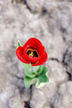 Eenzame tulp van Dana Schoenmaker
