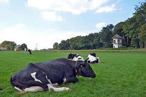 Koeien genieten van het mooie weer van
