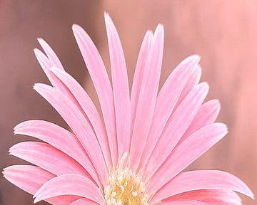 Roze Gerbera op roze achtergrond van Valeriia T