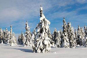 Besneeuwde bomen in Noorwegen van