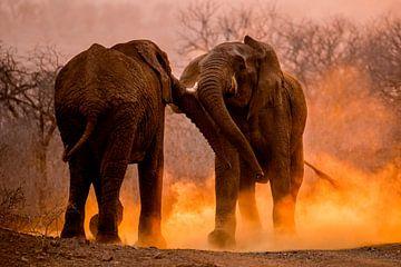 Afrikaanse Olifant, African Elephant, Loxodonta africana von AGAMI Photo Agency