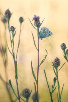 Schmetterlingswelten kleiner Bläuling von Jürgen Schmittdiel Photography