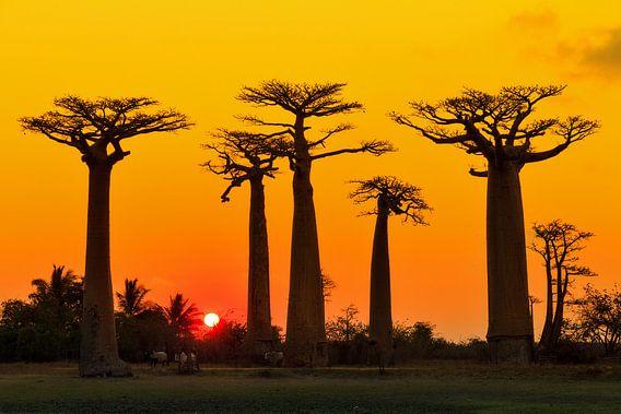 Baobab yellow sunset van Dennis van de Water