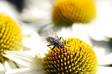Vaste plant Zonnehoed - geel - wit - macro - Nederland - vlieg op bloem van Jannie Domburg van Woudenberg