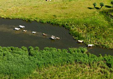 Koeien zoek verkoeling in de Westeindse weel. van Sky Pictures Fotografie