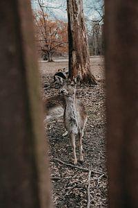 Chevreuil dans les bois sur Werner Lantinga