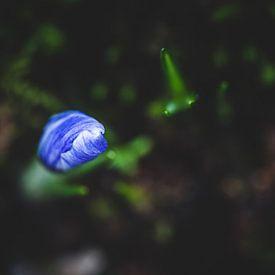 Krokus met prachtige blauwe kleuren op een donkere achtergrond. van Fotografiecor .nl