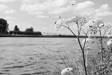 Bijen op fluitenkruid aan een kanaal van Leoniek van der Vliet
