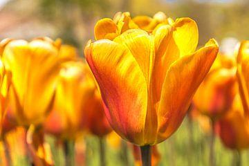 Gouden tulpen von Stedom Fotografie